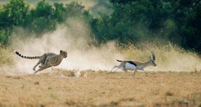 guépard chassant