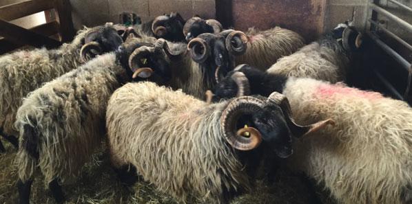 Photographie des béliers